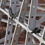 black-birds-on-scaffolding-151340-2